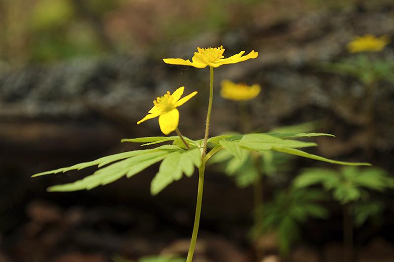 Анемона лютичная (Ветреница) - стебель и листья