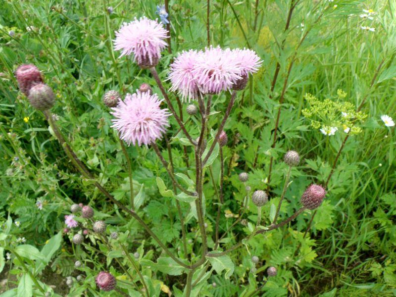 Бодяк полевой (розовый осот) - куст
