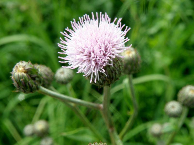 Бодяк полевой (розовый осот) - бутон крупно
