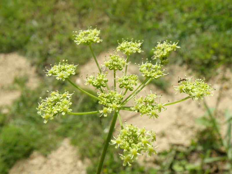 Борщевик обыкновенный, цветки