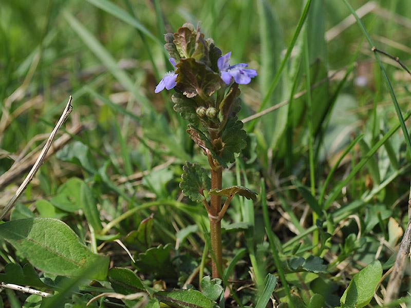 Будра плющевидная - цветок