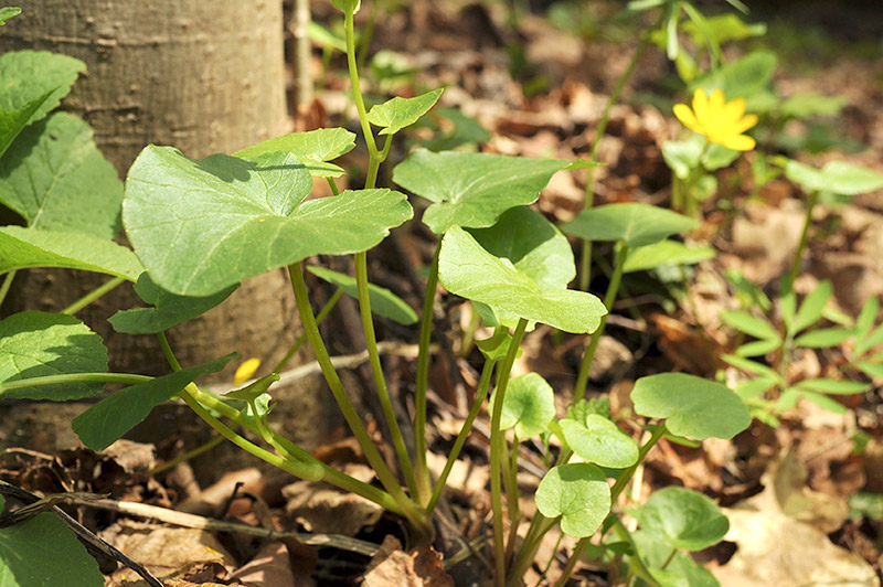 Чистяк клубненосный - стебель и листья