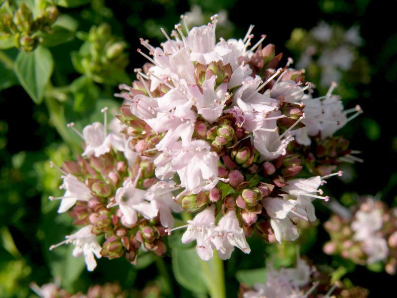 Душица обыкновенная - цветки крупно
