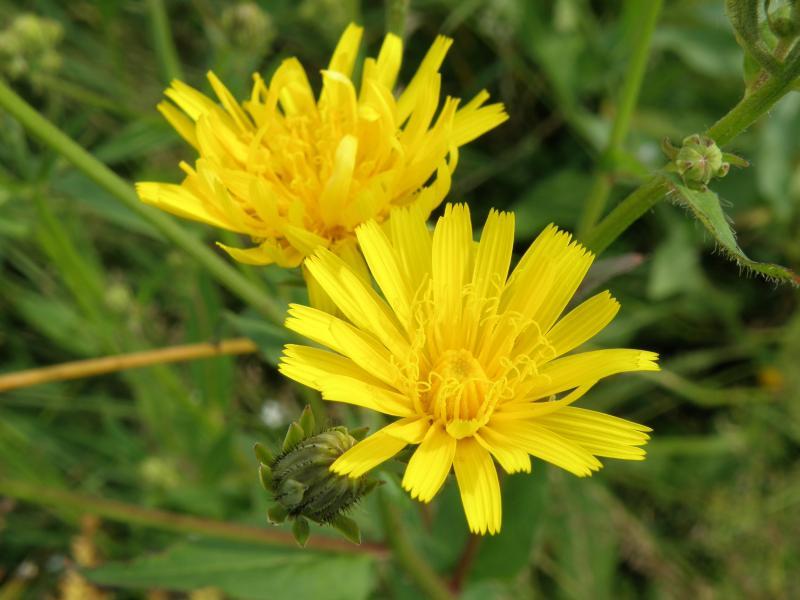 Горлюха ястребинковидная, или горчак жёлтый - цветки