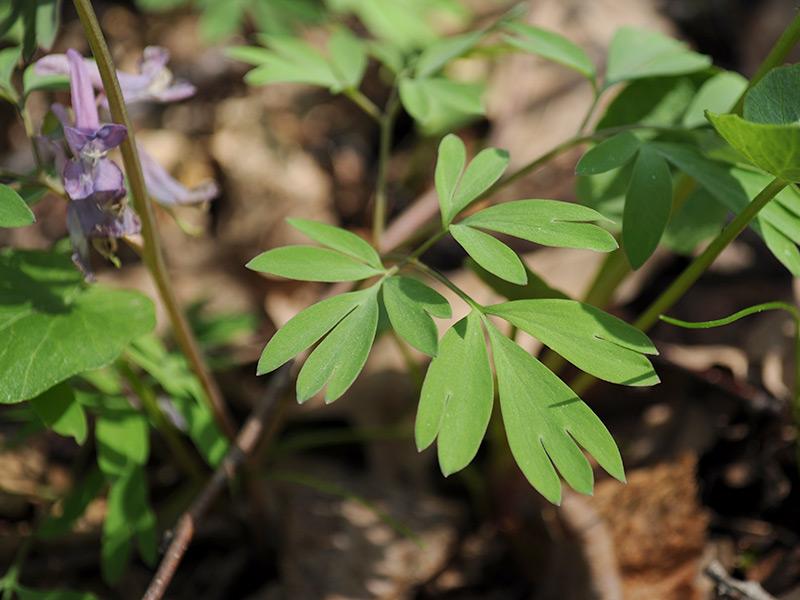 Хохлатка плотная - листья крупно