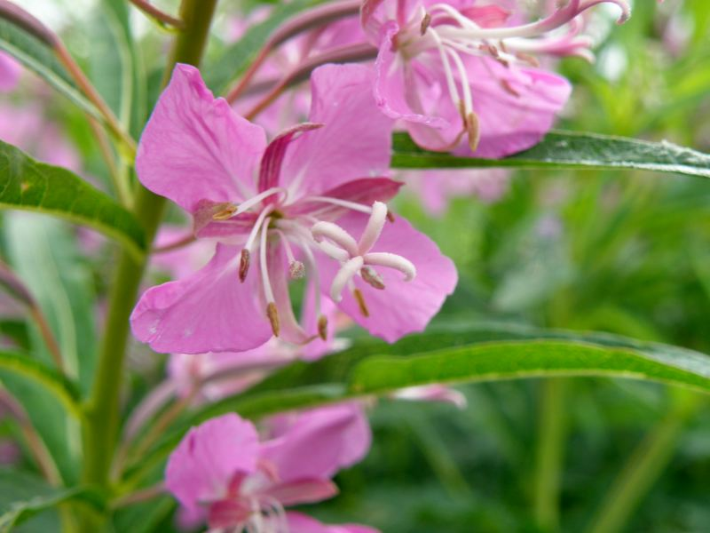 Кипрей узколистный, Иван-чай - цветок крупно