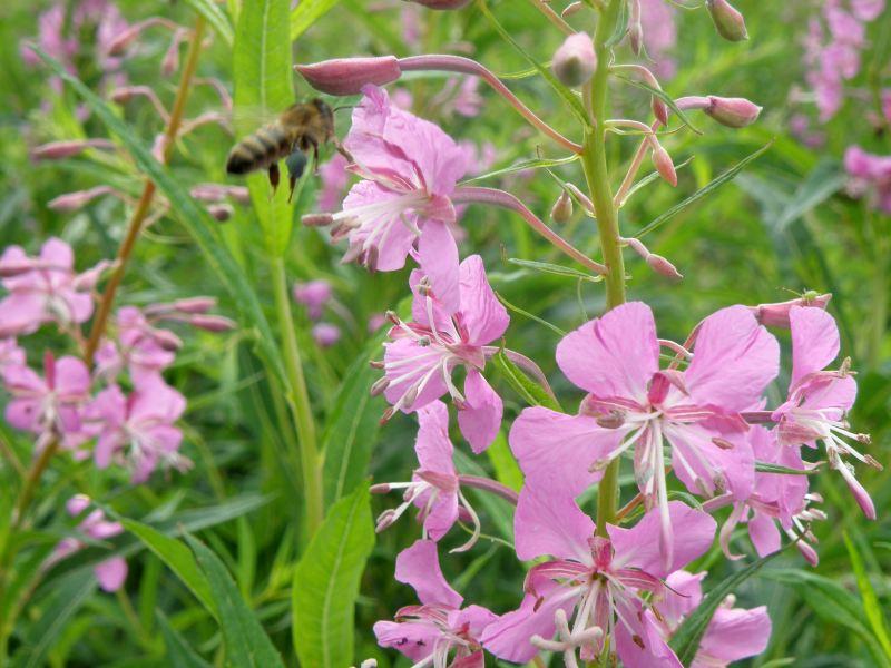 Кипрей узколистный, Иван-чай - пчела собирает нектар