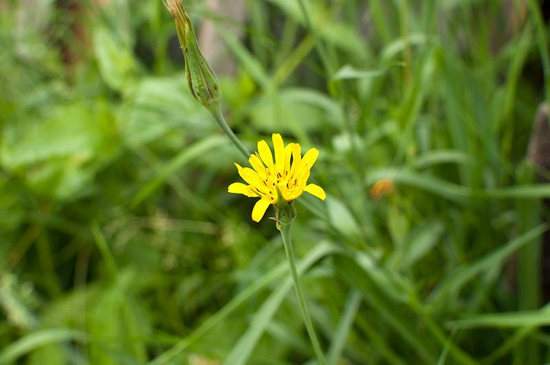 Ястребинка володушкообразная в траве