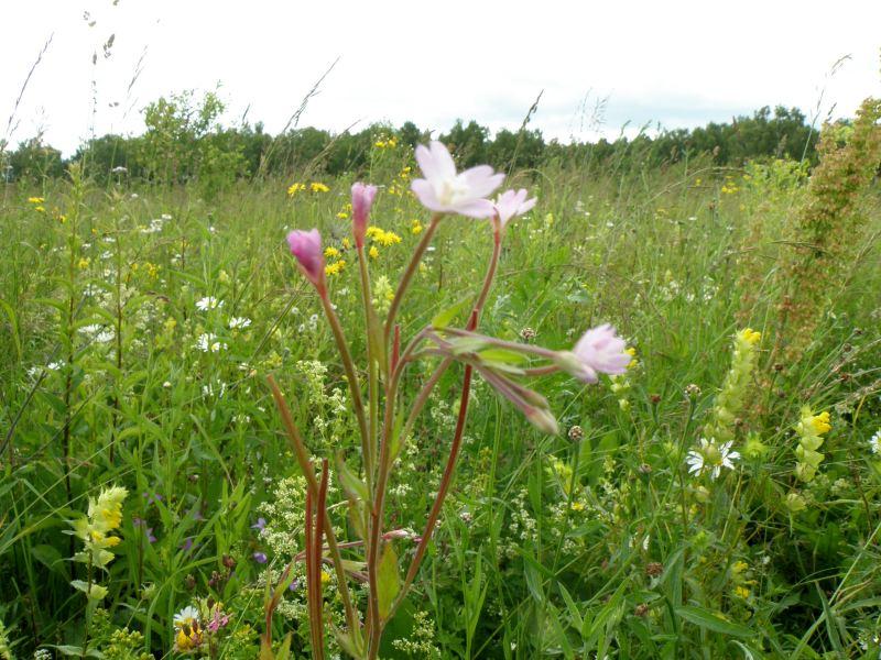 Кипрей розовый в поле