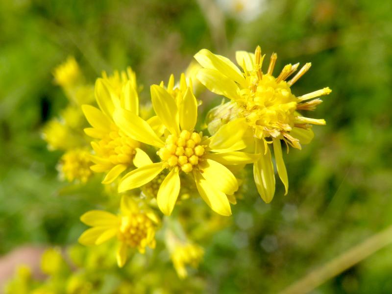 Крестовник Фукса - цветки крупно