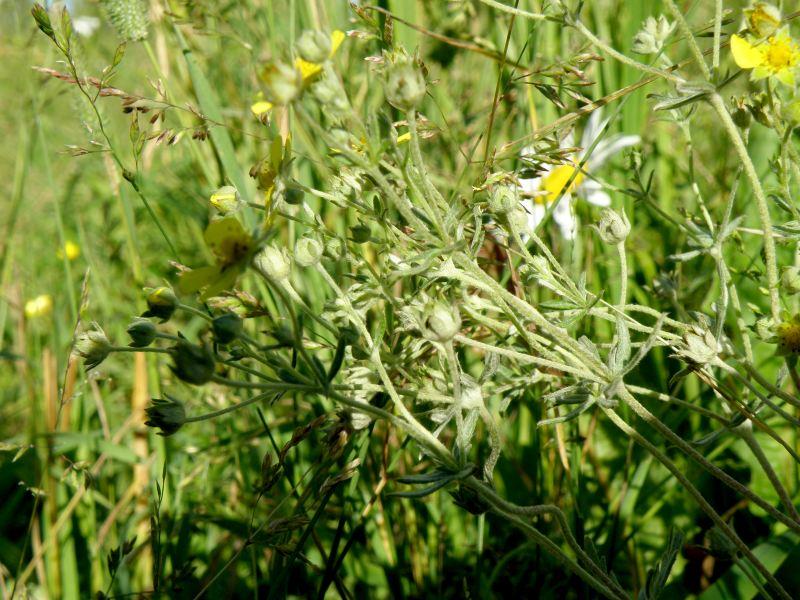 Лапчатка серебристая - стебли, листья