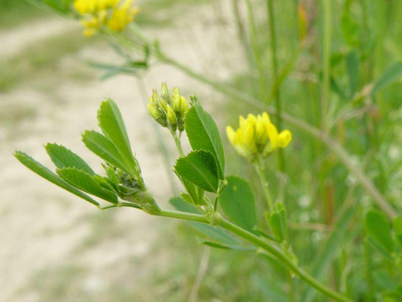 Люцерна серповидная - стебель и листья