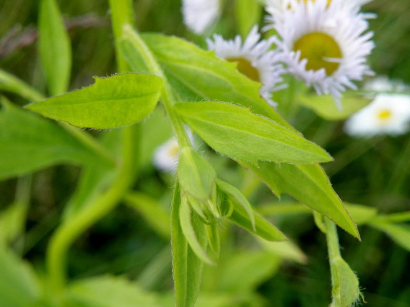 Мелколепестник - листья