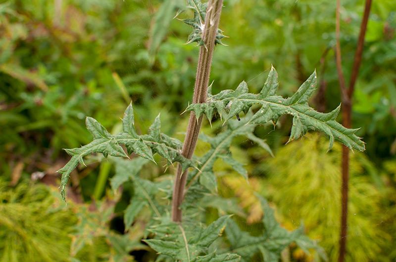 Мордовник шароголовый - стебель и листья