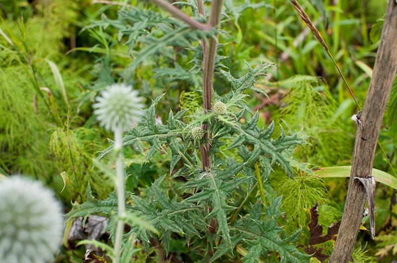 Мордовник шароголовый - листья с цветками