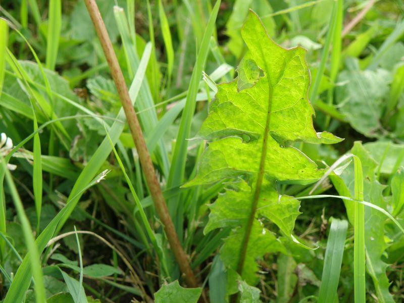 Одуванчик лекарственный - стебель и листья