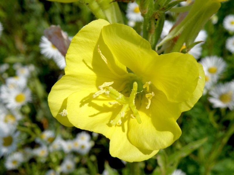 Ослинник двулетний - лепестки крупно