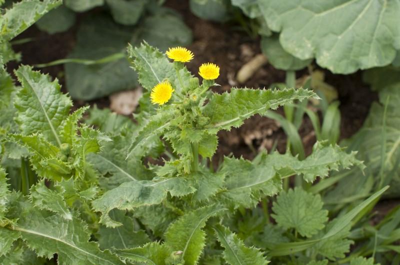 Осот огородный в полный рост