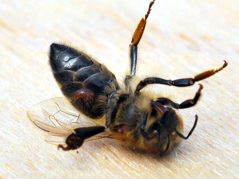Пчелиный клещ