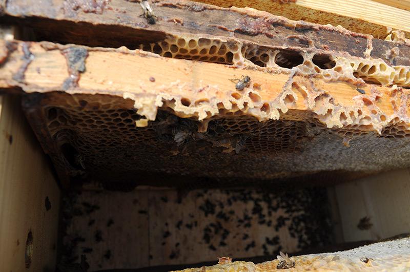 Улей поражённый пчелиным клещом