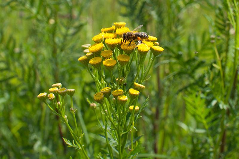 Пижма обыкновенная - пчела собирает нектар