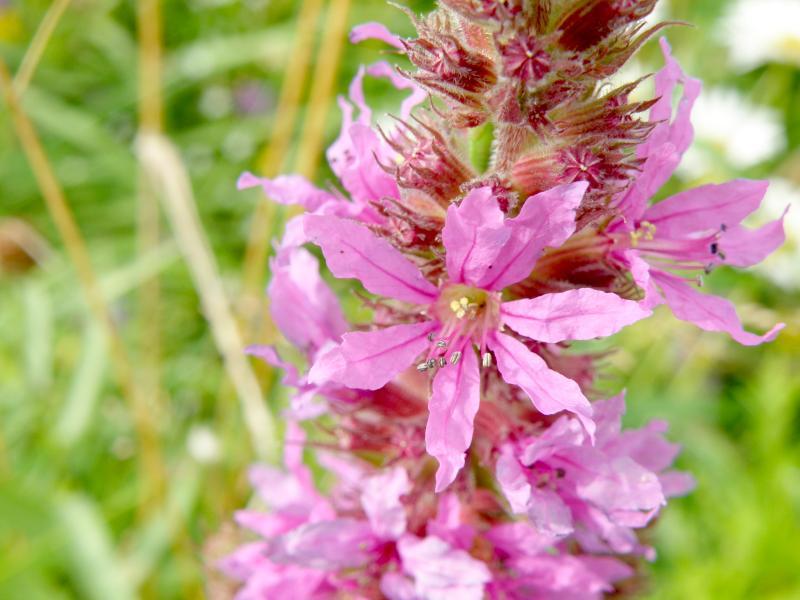 Дербенник иволистный, или плакун-трава - лепестки крупно