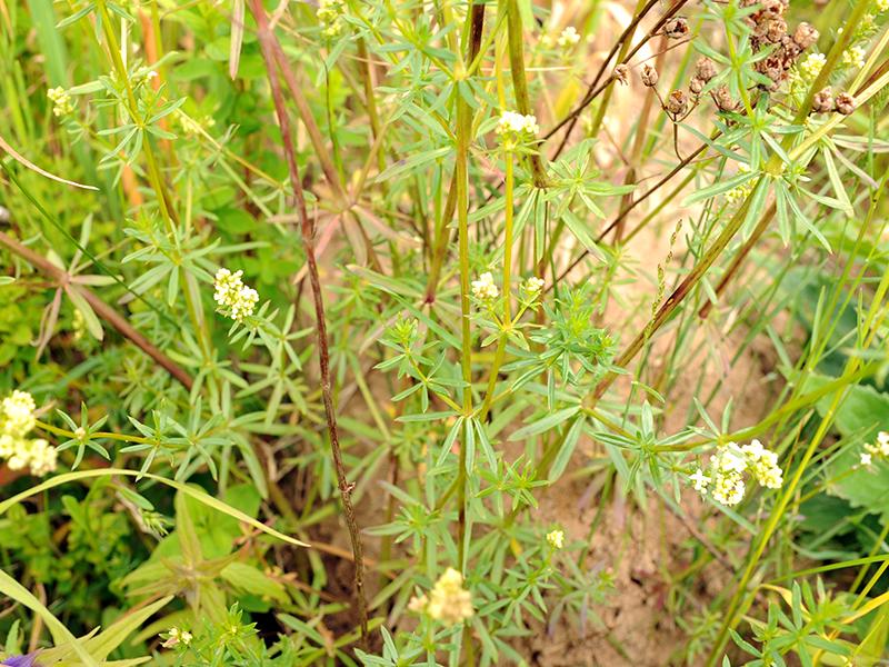 подмаренник мягкий - листья на стеблях