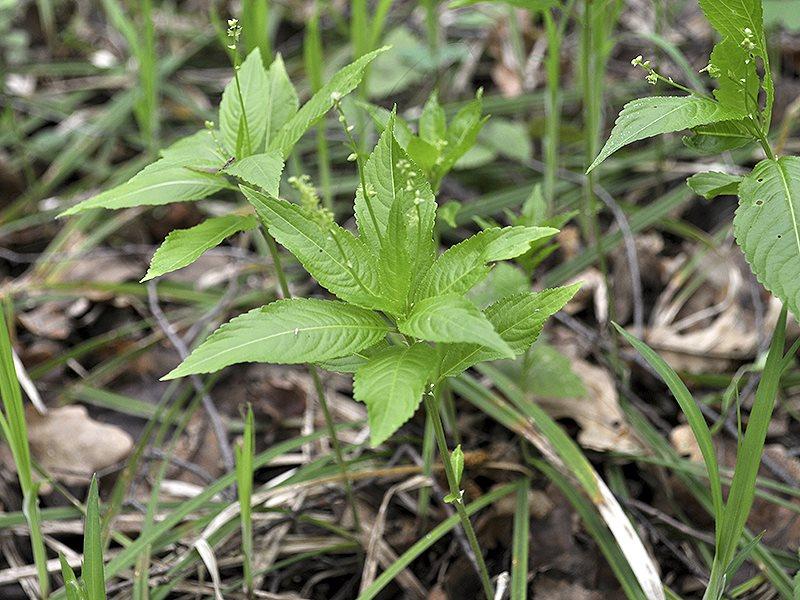 Пролесник Паикси - многолетнее травянистое растение