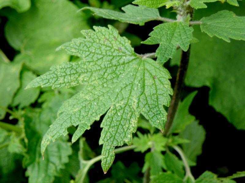Пустырник обыкновенный - листья