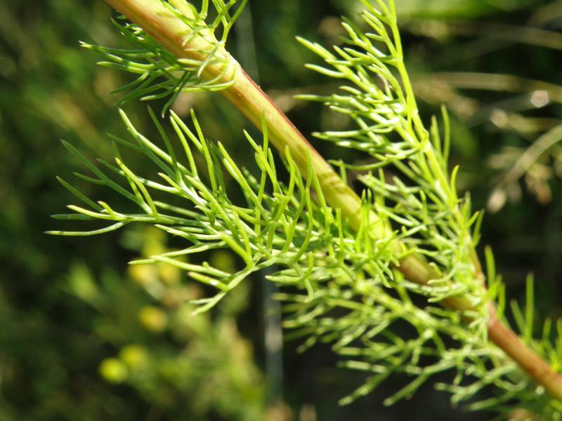 Ромашка приморская, непахучая - стебель и листья