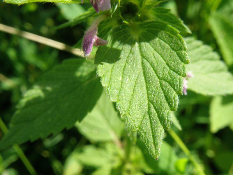 Щебрушка полевая - листья