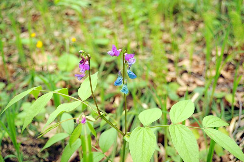 Сочевичник весенний - синие цветки