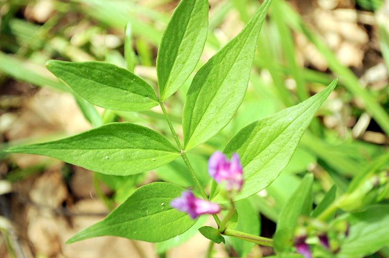 Сочевичник весенний - листья