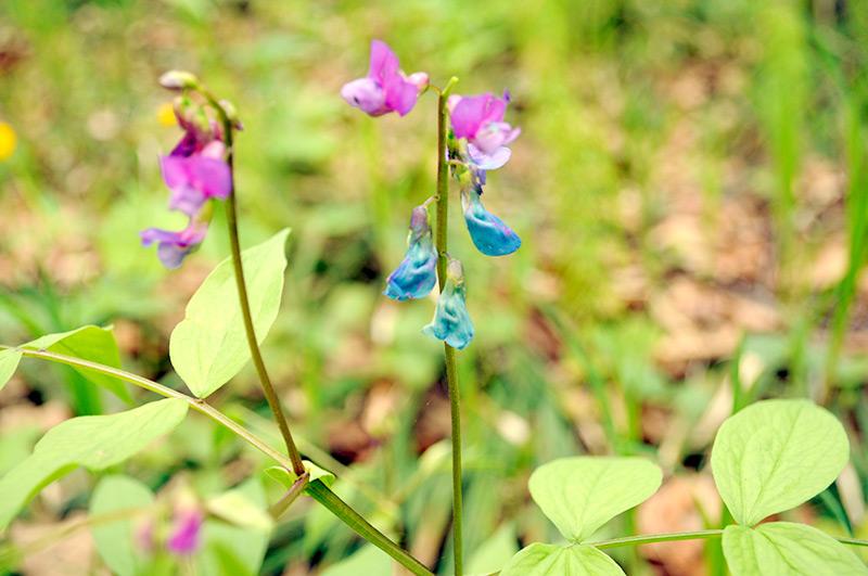 Сочевичник весенний - цветки крупным планом