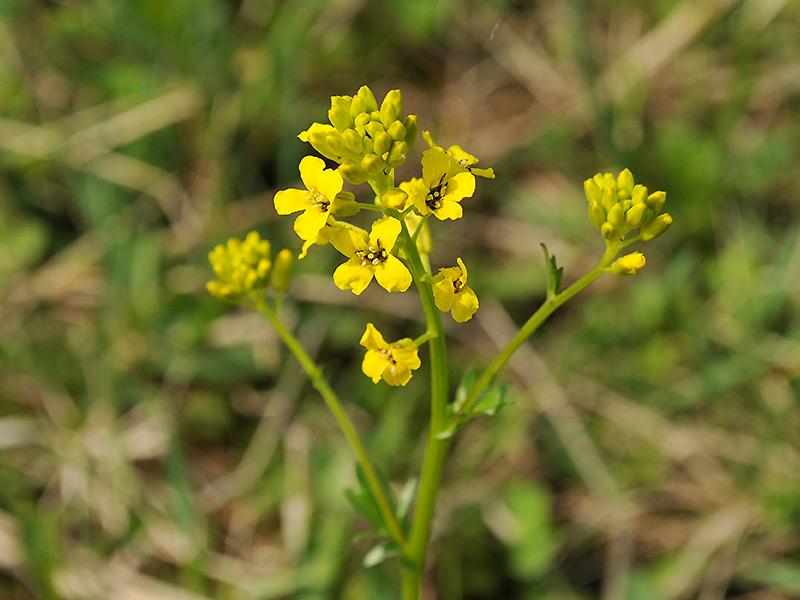 Сурепка обыкновенная - цветки крупно