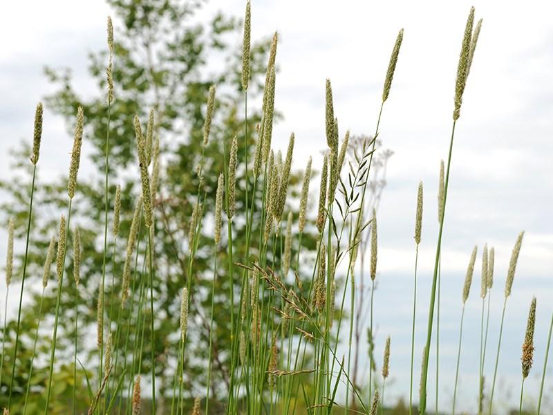 Тимофеевка мохнатая - заросли в поле