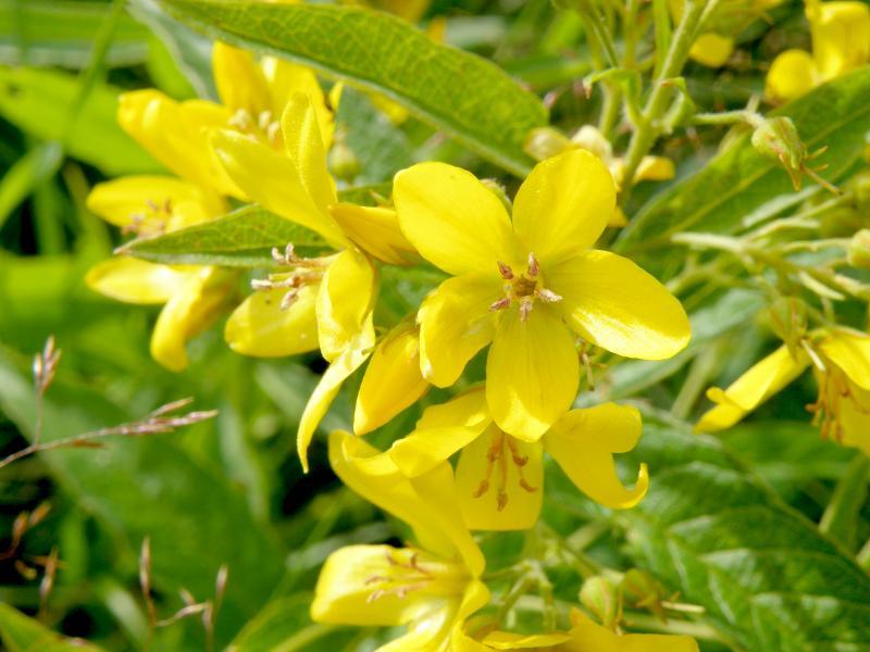 Вербейник обыкновенный - цветки крупно