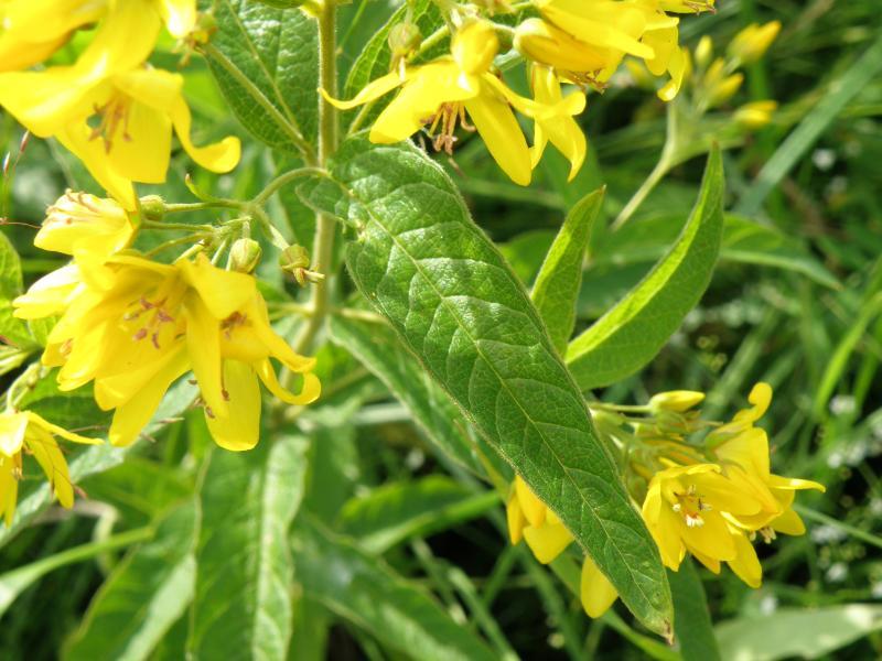 Вербейник обыкновенный - листья