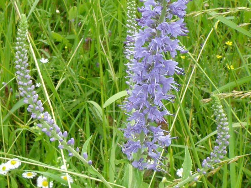 Вероника длиннолистная - цветки крупно