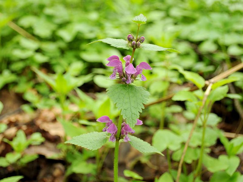 Яснотка пятнистая - многолетнее растение