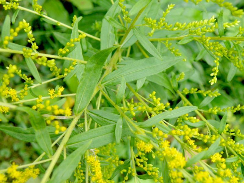 Золотарник обыкновенный, или Золотая розга - листья