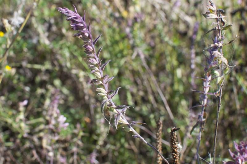 Зубчатка осенняя цветёт