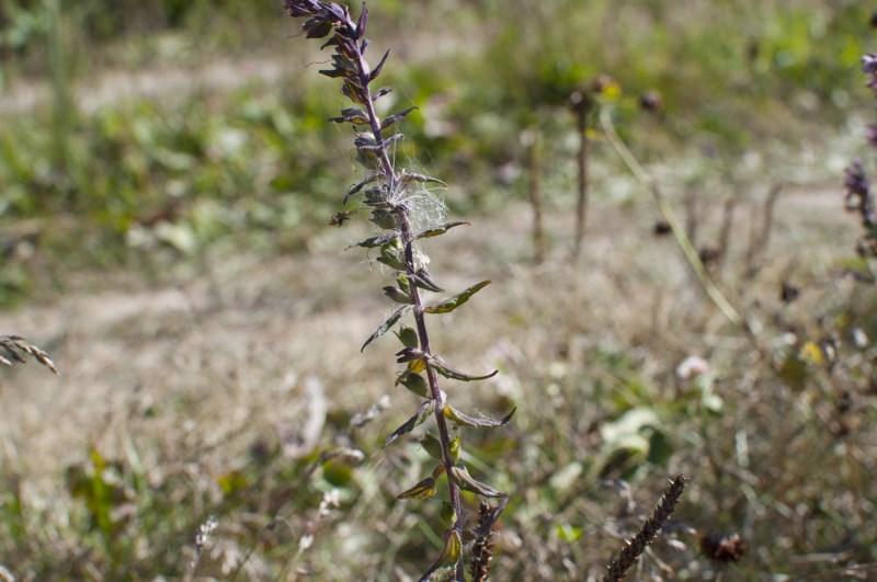 Зубчатка осенняя - стебель и листья
