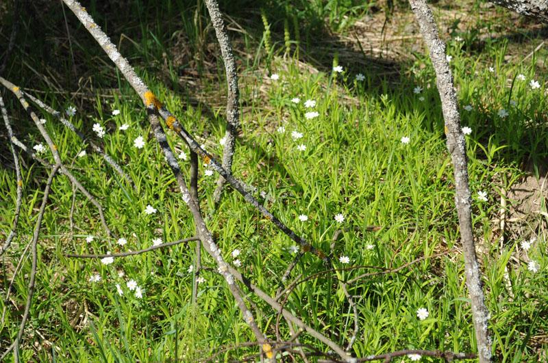 Звездчатка ланцетовидная - семейство в лесу